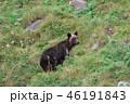 ヒグマ 知床 熊の写真 46191843