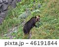 ヒグマ 知床 熊の写真 46191844