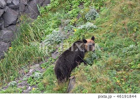 崖を登るヒグマ 46191844