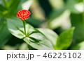 百日草 ヒャクニチソウ ひゃくにちそうの写真 46225102