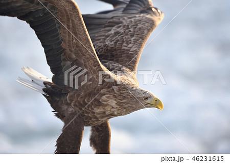 流氷から飛び立つオジロワシ(北海道・羅臼) 46231615
