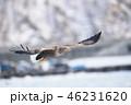 羅臼の町を飛ぶオジロワシ(北海道・羅臼) 46231620
