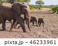 アフリカゾウ 46233961