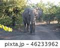 アフリカゾウ 46233962