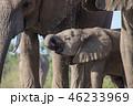 アフリカゾウ 46233969