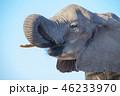 アフリカゾウ 46233970