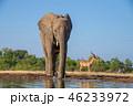 アフリカゾウ 46233972