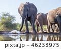 アフリカゾウ 46233975