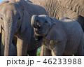 アフリカゾウ 46233988