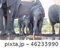 アフリカゾウ 46233990
