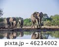 アフリカゾウ 46234002