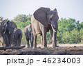 アフリカゾウ 46234003