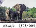 アフリカゾウ 46234004