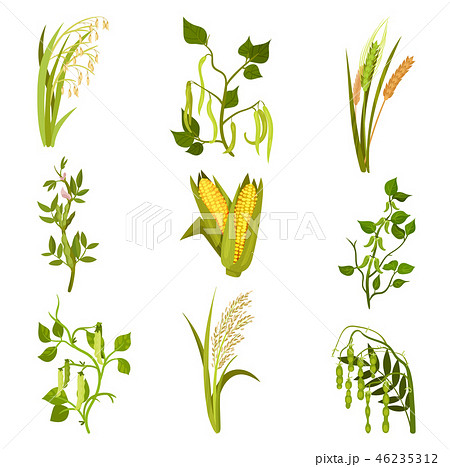 Flat vector sett of cereals and legumes plants. Agricultural crop. Different types of beans and 46235312