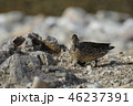 コガモ カモ 鳥の写真 46237391