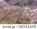 屏風岩 屏風岩公苑 山桜の写真 46242449