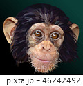 Low polygon vector of young chimpanzee face. 46242492