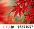 楓 紅葉 もみじの写真 46254057