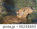 カピバラ 食む 入浴の写真 46256893