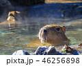 カピバラ 入浴 露天風呂の写真 46256898