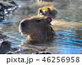カピバラ 入浴 露天風呂の写真 46256958