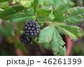 ケヤマウコギの果実 46261399