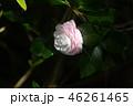 ピンクの椿 46261465