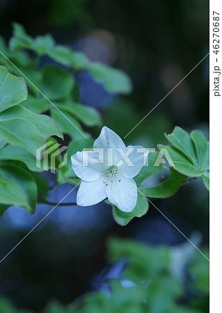 白八汐 シロヤシオ 花も葉っぱも愛らしい 46270687