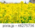 菜の花畑 菜の花 花畑の写真 46275736