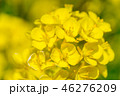 菜の花 花 春の写真 46276209