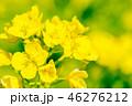 菜の花 花 春の写真 46276212