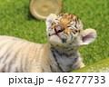 トラの赤ちゃん 46277733