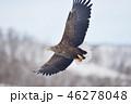 空を飛ぶオジロワシ(北海道・羅臼) 46278048