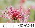 ダリア 花 植物の写真 46293244
