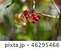 紅白のマンリョウ 46295466