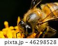 ハチ ミツバチ 蜂の写真 46298528