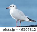 鳥 カモメ ユリカモメの写真 46309812