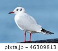 鳥 カモメ ユリカモメの写真 46309813