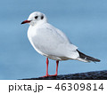 鳥 カモメ ユリカモメの写真 46309814