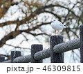 鳥 カモメ ユリカモメの写真 46309815