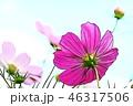 コスモス 46317506