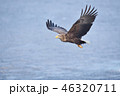 知床の海上を飛ぶオジロワシ(北海道・羅臼) 46320711