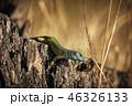 とかげ トカゲ 蜥蜴の写真 46326133