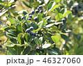 シャリンバイ 実 果実の写真 46327060