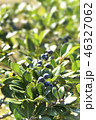 シャリンバイ 実 果実の写真 46327062