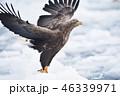 流氷から飛び立つオジロワシ(北海道・羅臼) 46339971