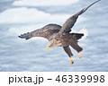 流氷の上を飛ぶオジロワシ(北海道・羅臼) 46339998