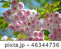 桜 八重桜 花の写真 46344736