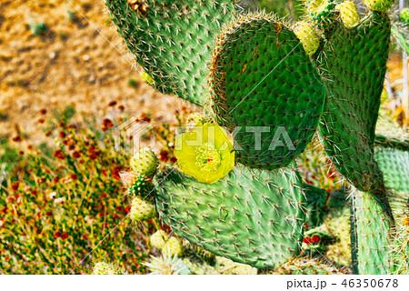 Wild cactus  in natural habitat conditions. 46350678