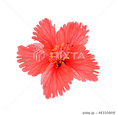 hibiscus isolated on white background 46350908